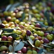 Olive frantoio, Cooperativa Olivicoltori Lago di Como