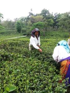Raccolta di foglie da tè, India