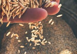 Riso Azienda Agricola Grangia